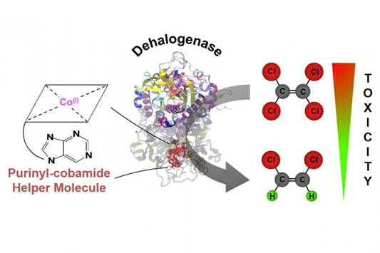 "hile studying a specific vitamin B12 derivative, an ORNL-led team discovered a ""helper"